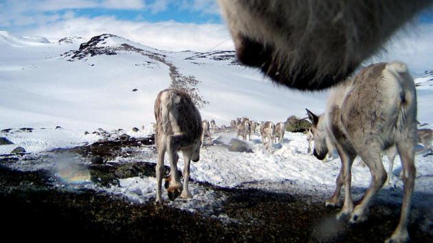 PÅ VANDRING: Villrein på Hardangervidda har fotografert hverandre med kamera festet rundt halsen. Bildene er helt unike. Foto: Villreinene Bella/ Olav Strand/NINA.
